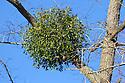 Mistletoe (Viscum album) infestation in Common lime tree (Tilia x europaea). Somerset UK. February.