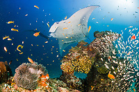 reef manta ray, Manta alfredi, being cleaned by cleaner wrasses at patch reef populated by yellow sweepers, orange basslets, midas blennies, giant anemone, and other reef life, Sunlight Thila, Lankan, North Male Atoll, Maldives, Indian Ocean