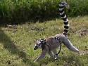 """16/05/16<br /> <br /> """"Do you have to go so fast?""""<br /> <br /> Three baby ring-tail lemurs began climbing lessons for the first time today. The four-week-old babies, born days apart from one another, were reluctant to leave their mothers' backs to start with but after encouragement from their doting parents they were soon scaling rocks and trees in their enclosure. One of the youngsters even swung from a branch one-handed, at Peak Wildlife Park in the Staffordshire Peak District. The lesson was brief and the adorable babies soon returned to their mums for snacks and cuddles in the sunshine.<br /> All Rights Reserved F Stop Press Ltd +44 (0)1335 418365"""