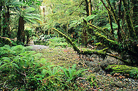A bush scene in the rainforest on the West Coast - Westland National Park, West Coast, New Zealand