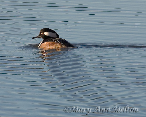 Bosque del Apache - At the north end of the Tour Loop Road is the Phil Norton Observation blind. It is an ideal place to get a good look at waterfowl such as this hooded merganser.