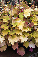 Heuchera 'Caramel' in mid summer
