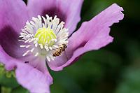 Hain-Schwebfliege, Weibchen, tupft Pollen mit Saugrüssel von Staubblatt, Blütenbesuch an Mohn, Schlafmohn, Papaver somniferum, Gemeine Winterschwebfliege, Winterschwebfliege, Winter-Schwebfliege, Hainschwebfliege, Wanderschwebfliege, Wander-Schwebfliege, Schwebfliege, Parkschwebfliege, Episyrphus balteatus, Episyrphus balteata, Syrphus balteatus, marmalade hoverfly, female, Le Syrphe ceinturé, Syrphe à ceinture, Syrphe à ceintures