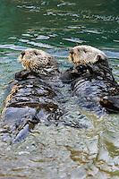 Sea Otters (Enhydra lutris).