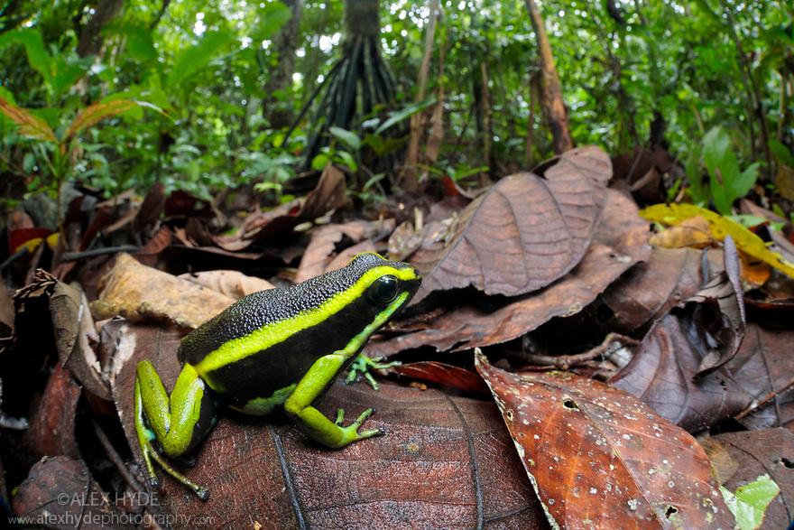 Three-striped Poison Frog (Ameerega trivittata) amongst leaf litter on lowland rainforest floor. Manu Biosphere Reserve, Amazonia, Peru. November.