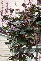 Dolichos lablab (Hyacinth Runner Bean annual vine)