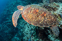 Green sea turtle, Chelonia mydas, Pescador island, Moalboal, Tuble, Cebu, Philippines