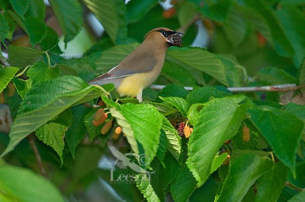CEDAR WAXWING (Bombycilla cedrorum) feeding in mulberry tree.  Southern U.S., May.