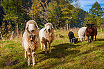 Oesterreich, Salzburger Land, Pinzgau, Raurisertal, Rauris, kleine Schafherde im Huettwinkltal, die suedliche Fortsetzung des Raurisertals in den Hohen Tauern | Austria, Salzburger Land, region Pinzgau, Rauris Valley, Rauris-district Bucheben: small flock of sheep at Huettwinkl Valley, southern part of Rauris Valley, within Hohe Tauern mountain range