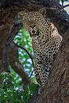 Male Leopard (Panthera pardus) in a wild mango tree. South Luangwa National Park, Zambia.