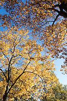 hickory tree, Arnold Arboretum, autumn, Boston, MA fall