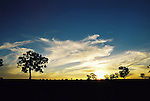 Australian gum trees silhouetted by the last rays of sun at the end of a long summer day