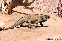 0627-1105  Rhinoceros Iguana, Haiti and Dominican Republic, Cyclura cornuta  © David Kuhn/Dwight Kuhn Photography