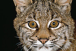 With oversized eyes often highlighted with spots and stripes, felid faces can be very dramatic. Bobcat, Washington, USA