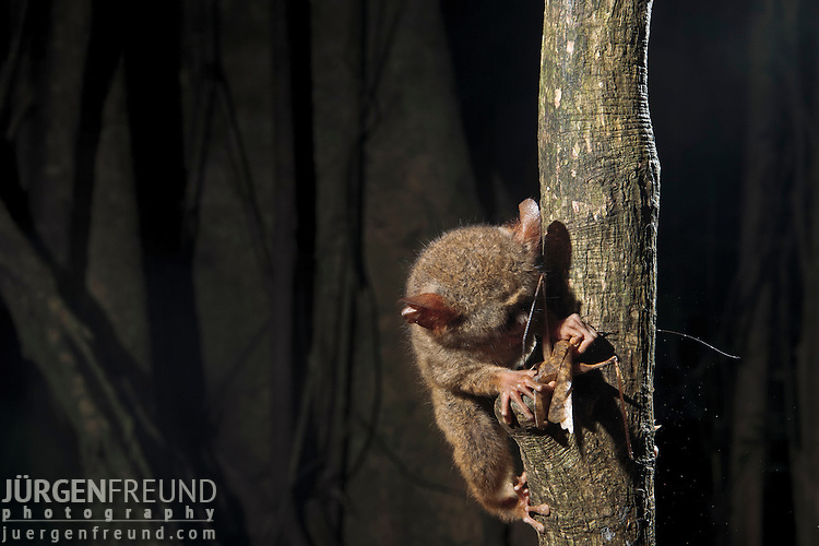 Spectral Tarsier eating a grasshopper, (Tarsius tarsier) in strangler fig tree which serves as sleeping shalter at daytime. Tarsier are insect eaters and hunt at night. They belong to the  smallest primates and only occur in Sulawesi, Borneo, Philippines and Sumatra.