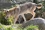 Captive raised Western coyote, Molly lives in the Buttonwood Zoo, New Bedford, Massachusetts.