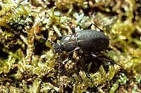 1C12-015e   European Ground Beetle - Carabus nemoralis