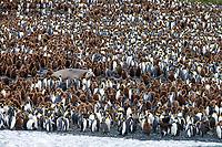 "King Penguin (Aptenodytes patagonicus) adults and juveniles or ""oakum boys"" surrounding a Southern Elephant Seal (Mirounga leonina) at Lusitania Bay, Macquarie Island, Australia."