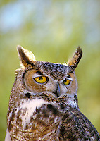 Great Horned Owl, Bubo virginianus. Close-up of head and shoulders. animals, birds, wildlife. Great Horned Owl. Arizona.