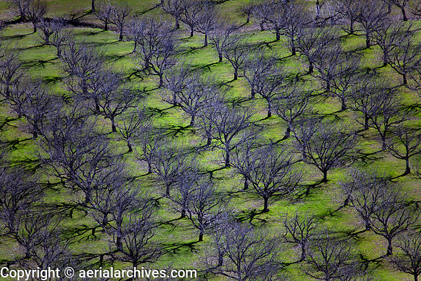 aerial photograph of walnut orchard early spring, Kelseyville, Lake County, California
