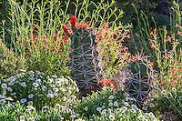 Echinocereus triglochidiatus, Claret-cup cactus, backlit with Agastache, Penstemon, and white flowering Melampodium leucanthemum (Black Foot Daisy) in David Salman New Mexico xeric rock garden