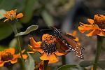 Queen, Danaus gilippus, Southern California