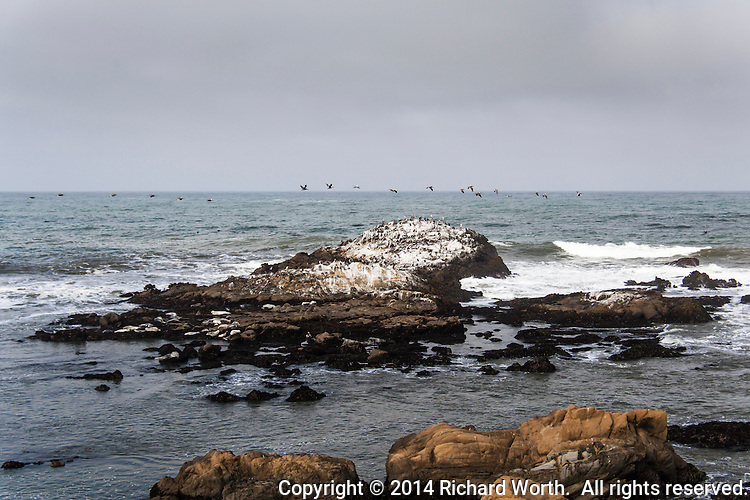 A squadron of Brown pelican flies over rocks off shore at Bean Hollow State Beach, rocks covered with more pelicans as well as cormorants, gulls and bird droppings.  Below, harbor seals rest on a flatter rocky area, waiting for the sun to come from behind the clouds.