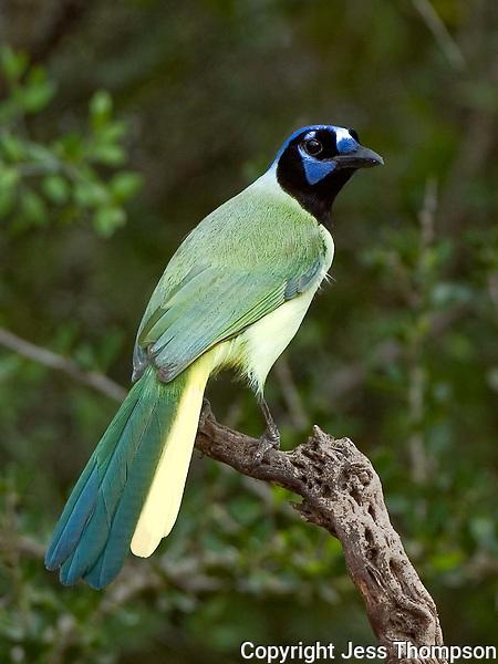 Green Jay, South Texas