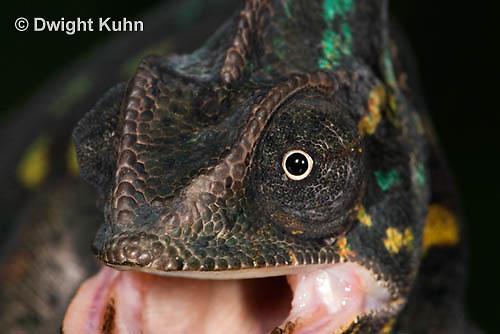 CH51-719z Female Veiled Chameleon, note eye rotation, Chamaeleo calyptratus