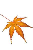 Cut out silhouette, Maple leaf (Acer palmatum) autumn foliage leaf in California garden, November 19