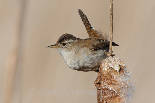 Adult Marsh Wren (Cistothorus palustris). Snohomish County, Washington. April.