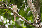 Mossman Gorge, Queensland, Australia; a Laughing Kookaburra (Dacelo novaeguineae) bird on a tree branch with a mouse in it's beak
