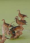 wood ducks (juvenile) Aix sponsa