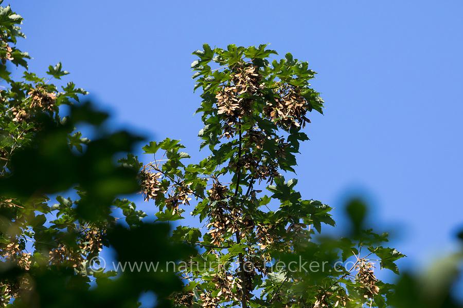 Berg-Ahorn, Bergahorn, Früchte, fruchtend, Blüte, Ahorn, Acer pseudoplatanus, Sycamore, Erable sycomore, sycamore maple, L'érable sycomore