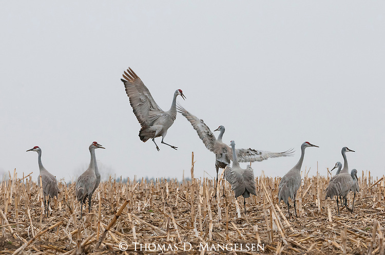 Sandhill cranes dance and feed in a cornfield in Nebraska.