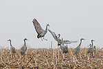 Sandhill cranes dance and feed in a cornfield in Nebraska.