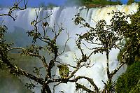 Large, beautiful condor vulture standing in a tree above the famous Iguazu Falls in Iguacu National Park, Iguazu, Brazil and Argentina