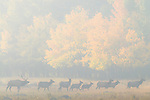 smoke, fog, American elk, wapiti, Cervus elaphus, wildlife, October, fall, aspen, forest, meadow, autumn, morning, Beaver Meadows, Rocky Mountain National Park, Colorado, USA