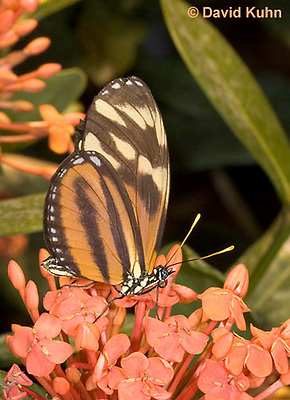 0403-08mm  Isabella Tiger Butterfly, Eueides isabella, South and Central America © David Kuhn/Dwight Kuhn Photography