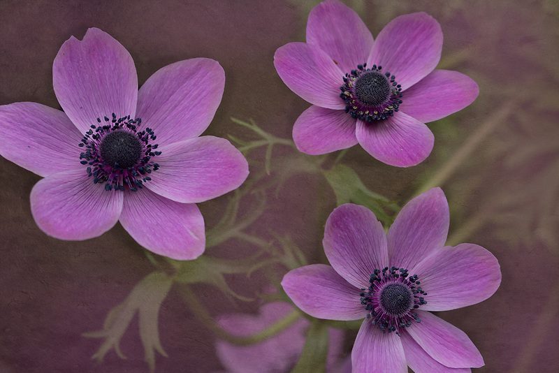 Close up of anemone flowers.