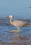 White Faced Heron, Egretta novaehollandiae