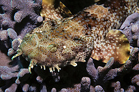 juvenile ornate wobbegong shark, Orectolobus ornatus, Wongara Coast, Bundaberg, Queensland, Australia, Coral Sea, South Pacific Ocean