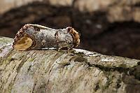 Mondvogel, Mondfleck, Tarnung, Phalera bucephala, Buff-tip moth, buff tip, camouflage, La Bucéphale, Zahnspinner, Notodontidae, prominents