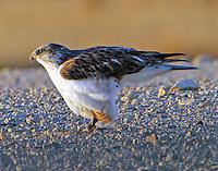 Juvenile light-morph ferruginous hawk ready to fly