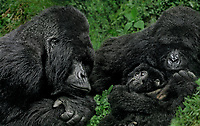 642229033 a wild silverback mountain gorilla gorilla gorilla berengi shares a moment with his mate and their young offspring in the cloud forest in virungas mountains national park in zaire