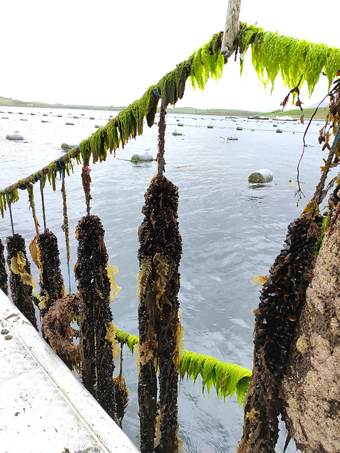 Mussels long line: Organic rope grown mussels ready for harvest at Blackshell Fam Ltd. Photo: Dr Ronan Cooney, NUI Galway