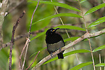 Male Victoria's Riflebird (Ptiloris victoriae) perched on a branch