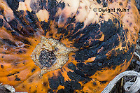 DC09-629z  Black Rot growing on pumpkin caused by the fungus Didymella bryoniae
