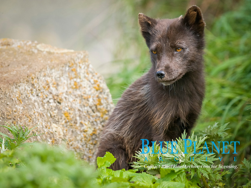 Pribilof Islands Arctic fox, Vulpes lagopus pribilofensis, adult guarding den, summer, St Paul Island, Alaska.