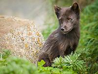 Pribilof Islands Arctic fox, Vulpes lagopus pribilofensis, adult guarding den, summer, St Paul Island, Alaska.